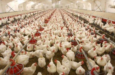 ۹۵ هزار مرغ مبتلا به آنفولانزا در تیران و کرون معدوم شد