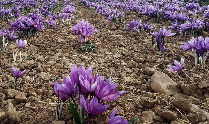 تولید زعفران در اصفهان