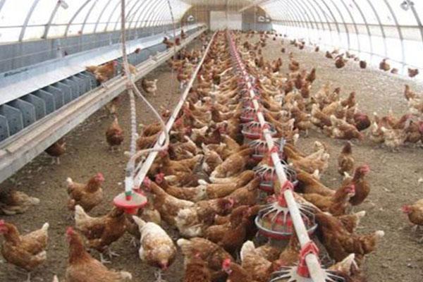 بی تدبیری و اعتراض فعالین صنعت مرغ در نجف آباد