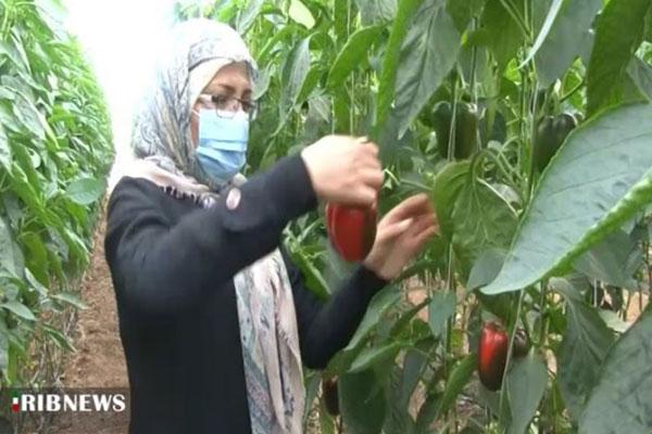 فعالیت بیش از ۳۰۰ واحد گلخانه در نجف آباد